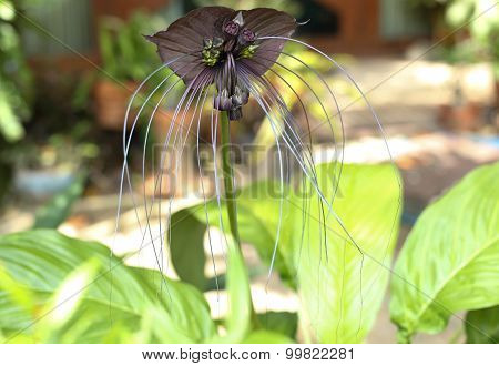 Tacca Chantieri Var Macrantha, Black Bat Flower