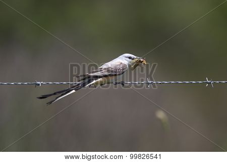 Male Scissor-tailed Flycatcher Eating A Locust