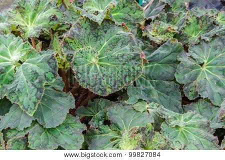 Begonia Thelmae