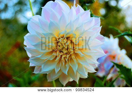 Peony flower Paeónia