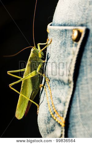 Green grasshopper sitting on blue jeans pocket