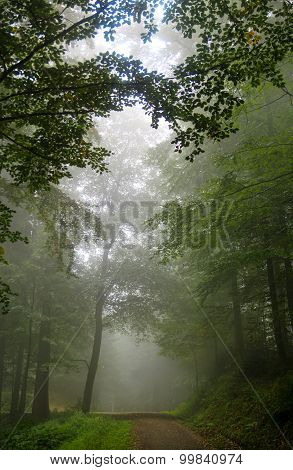 Forest Tree Alley Engulfed In Deep Mist
