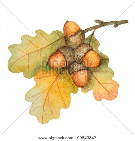 Watercolor Oak Branch With Acorns