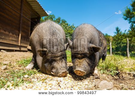 Pigs eat, close-up view