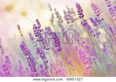 Beutiful lavender flowers