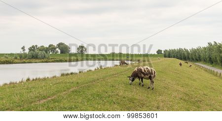 Brown Spotted Sheep Grazing On A Dike