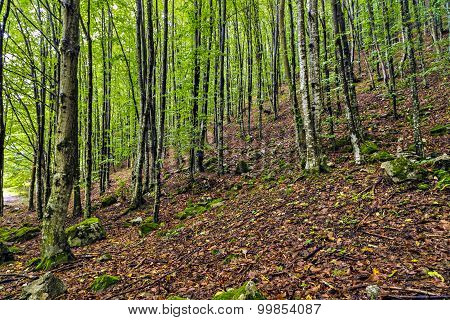 a beautiful hornbeam forest in the mountains of Romania