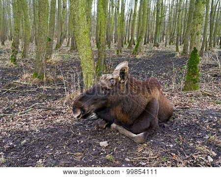 The Elk In A Forest