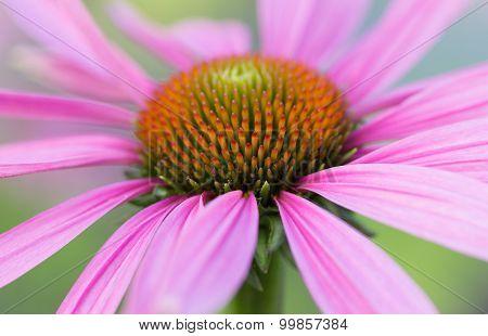 Purple Flower In Garden In Macro