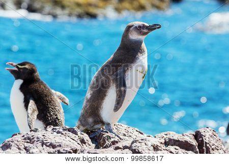 Magellanic Penguin (Spheniscus magellanicus) in Patagonia