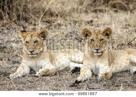 Two lion cubs in Masai Mara National Reserve, Kenya