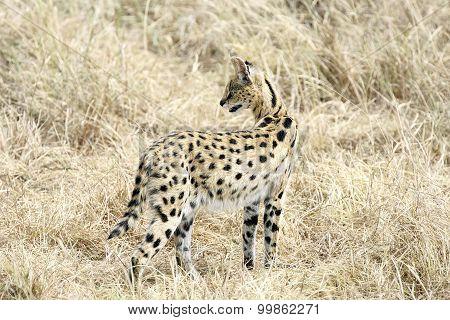Serval Cat in Masai Mara Reserve, Kenya