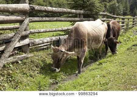 Two Cows Wander Along A Wooden Fence