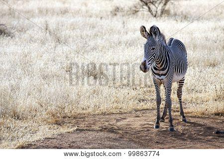 Gravy Zebra standing in Samburu National Reserve, Kenya