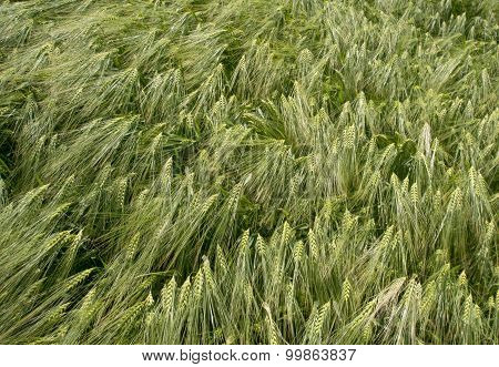 Ears Of Wheat - Background