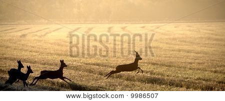 Roe deer in field