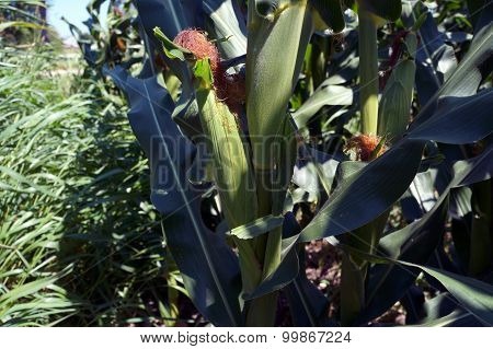 Corn on a Cornstalk