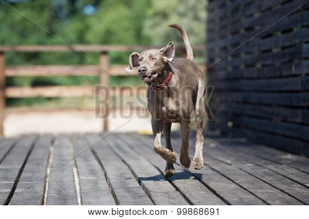 weimaraner dog running outdoors