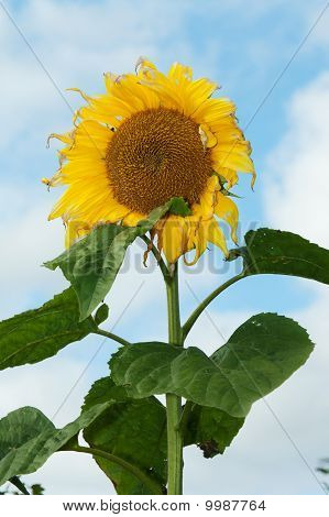 Mature Sunflower On Background Sky