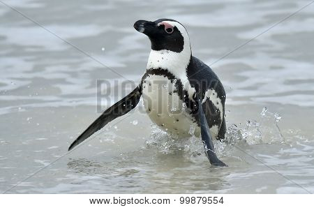 Portrait Of African Penguin (spheniscus Demersus), Also Known As The Jackass Penguin.