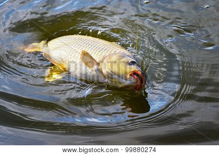 Catching Carp Bait In The Water close up