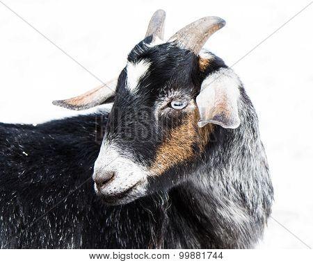 Miniature Nubian Goat