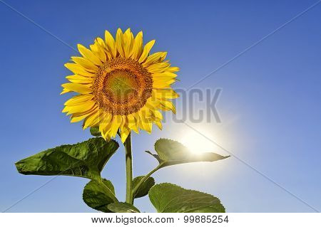 Sunflower Keeping Sun