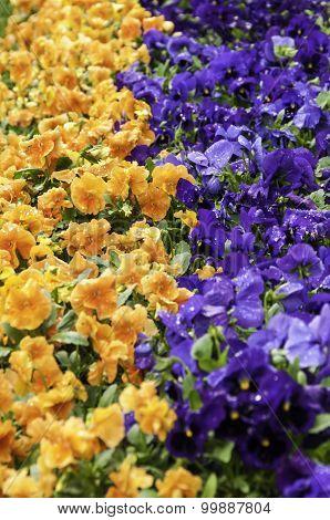 Pansies In A Flowerbed