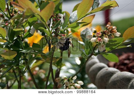 bumble bee on blueberry flower