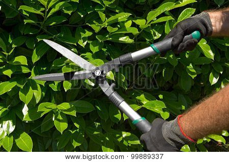 Professional Gardener Pruning A Hedge