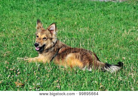 Dog lying on the grass. Mongrel dogs.