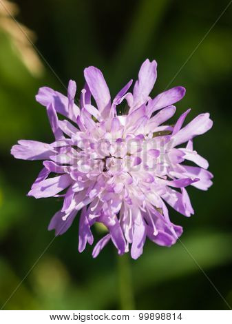 Flower of Knautia arvensis commonly known as Field Scabious macro, selective focus