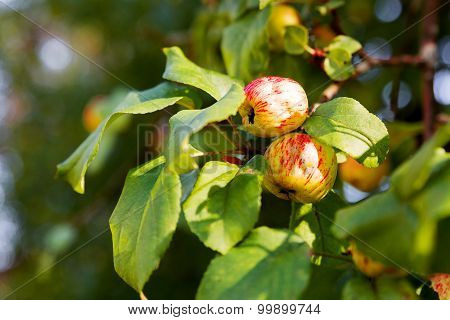 Red Apples On Apple Tree Branch. Early Autumn Harvest. Natural Rural Background With Fruit Tree