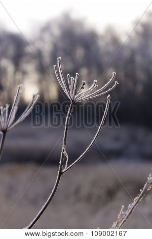 Hoarfrost On The Flowers