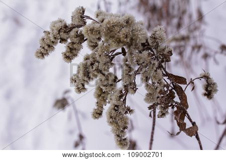 Hoarfrost On The Plants In Winter Forest