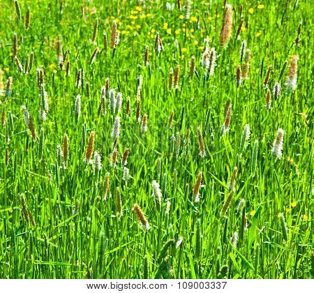 Green Spike Of Corn In The Wind