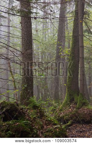 Large Alder Tree In Misty Stand Of Bialowieza Forest