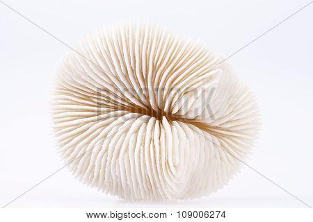 Seashell Of Fungia  Isolated On White Background, Close Up