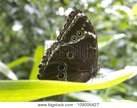 Owl Butterfly, Caligo Sp., In Amazon Rainforest.
