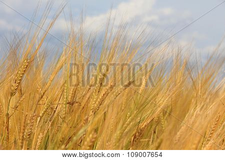 Large field of fresh wheat in countryside