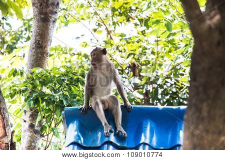 monkeys sit on the roof in a natural forest of Thailand.
