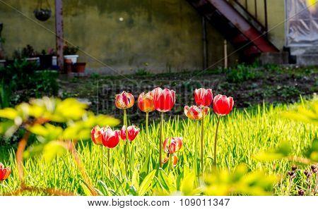 Tulips In Home Garden, Otaru, Hikkaido, Japan.