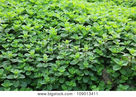 green mints plants in growth at garden