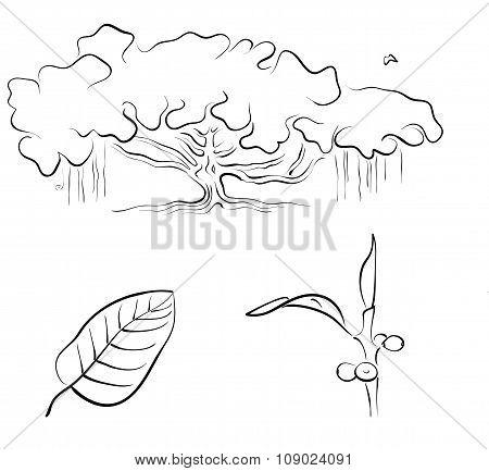 Banyan Or Ficus Benghalensis, Vector Illustration