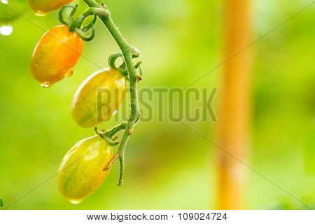 Ripe natural tomatoes growing on a branch.