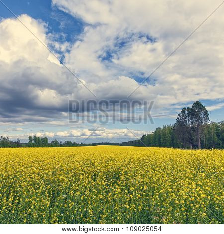 Gorgeous Yellow Canola Field In Forest