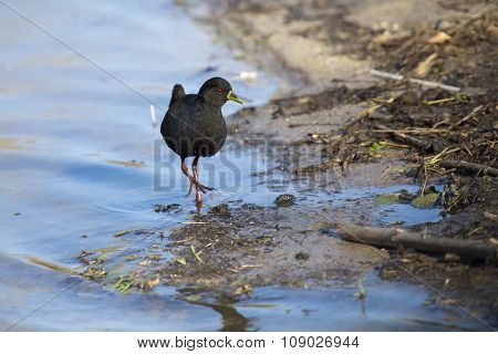Black Crake Walking Along The Edge Of A Pond Searching Insects