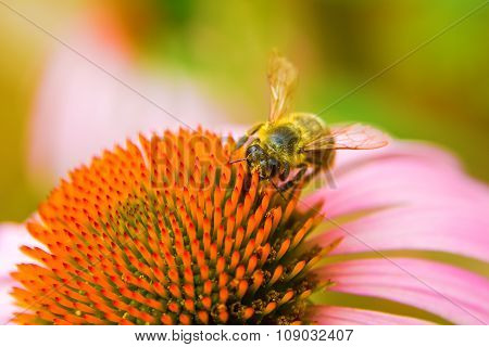 A Honey Bee Collects Pollen On A Echinacea Flower.