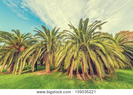 Palm Trees In The City Park.