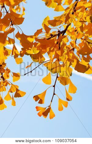 Autumn Ginkgo Biloba Leaves Against The Bright Sky